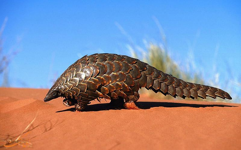بزرگترین خطر انقراض پستاندارن جهان، برای مورچه خوار پانگولین!!!